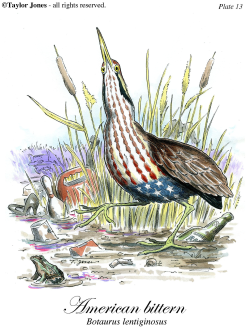 American Bittern -  by Taylor Jones